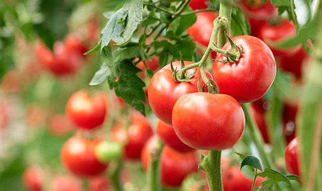 planta de tomate fresco