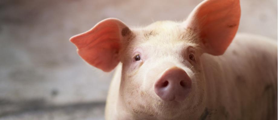 Manada porcina